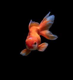 Giv akvariefiskene nærende fiskefoder